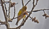 American Goldfinch - High Acres Nature Area - © Dick Horsey - Mar 26, 2016