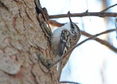 Brown Creeper - Owl Woods - © Dick Horsey - Mar 29, 2016