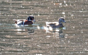 Wood Duck - Durand Eastman Park - © Dick Horsey - Mar 29, 2016