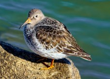 Purple Sandpiper © Jay Greenburg