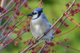 Blue Jay - Webster - © Peggy Mabb - Mar 30, 2016