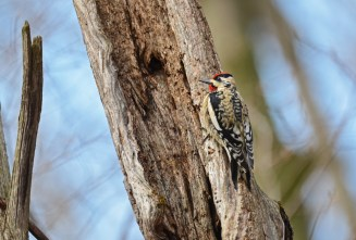 Yellow-bellied Sapsucker - Cummings Nature Center - © Salvador and Miriam Barragan - Apr 01, 2016