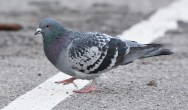 Rock Dove - Irondequoit Bay Outlet (RBA Field Trip) - © Dick Horsey - Apr 02, 2016