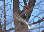 Pileated Woodpecker - Four Mile Creek Preserve - © Dick Horsey - Apr 05, 2016