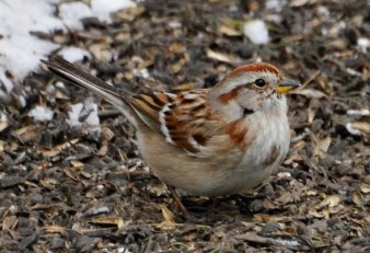 American Tree Sparrow - Webster - © Peggy Mabb - Apr 06, 2016