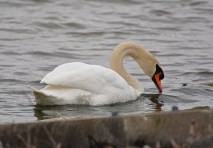 Mute Swan - Irondequoit Bay Outlet - © Dick Horsey - Apr 07, 2016