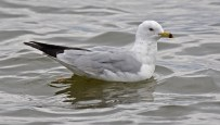 Ring-billed Gull - Irondequoit Bay Outlet - © Dick Horsey - Apr 07, 2016