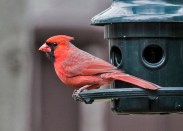Northern Cardinal - Fairport - © Wes Boyce - Apr 07, 2016