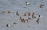 Redhead, Lesser Scaup, and Bufflehead - Conesus Lake - © Nick Kachala - Apr 09, 2016