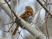 Fox Sparrow - Oatka Creek Park - © Jim Adams - Apr 11, 2016