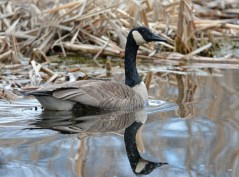 Canada Goose - Thousand Acre Swamp - © Dick Horsey - Apr 12, 2016