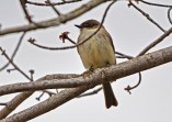 Eastern Phoebe - Thousand Acre Swamp - © Dick Horsey - Apr 12, 2016