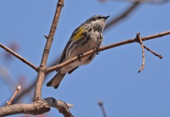 Yellow-rumped Warbler - Island Cottage Woods - © Dick Horsey - Apr 13, 2016