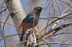 Rusty Blackbird - Lakeview Community Church Trail - © Dick Horsey - Apr 13, 2016