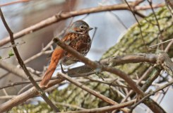 Fox Sparrow - Lakeview Community Church Trail - © Dick Horsey - Apr 13, 2016