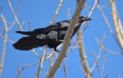 Common Raven - Beatty Point - © Dick Horsey - Apr 14, 2016