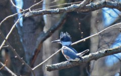 Belted Kingfisher - Durand Eastman Park - © Dick Horsey - Apr 15, 2016
