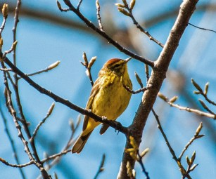 Palm Warbler - Whiting Road Preserve - © Drew Yampanis - Apr 16, 2016