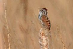Swamp Sparrow - High Acres Nature Area - © Dick Horsey - Apr 17, 2016