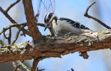 Hairy Woodpecker - Highland Park - © Dick Horsey - Apr 18, 2016