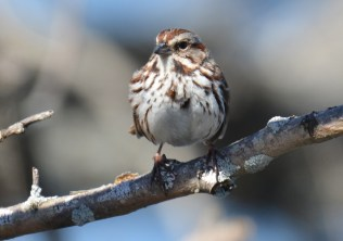 Song Sparrow - South Marina - © Dick Horsey - Apr 20, 2016