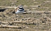 Killdeer - Hamlin - © Dick Horsey - Apr 20, 2016