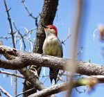 Red-bellied Woodpecker - Irondequoit - © Candace Giles - Apr 21, 2016