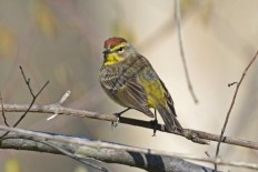Palm Warbler - Island Cottage Woods - © Nick Kachala - Apr 23, 2016