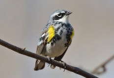 Yellow-rumped Warbler - Island Cottage Woods - © Nick Kachala - Apr 23, 2016