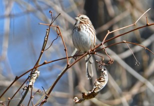 Song Sparrow - Firehouse Woods - © Dick Horsey - Apr 27, 2016