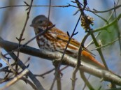 Fox Sparrow - Oatka Creek Park - © Jim Adams - Apr 17, 2016