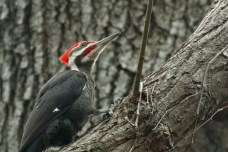 Pileated Woodpecker - Cobbs Hill - © Jeanne Verhulst - Apr 22, 2016