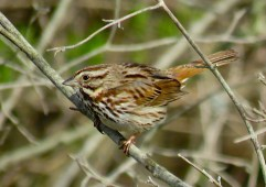 Song Sparrow - Oatka Creek Park - © Jim Adams - Apr 28, 2016