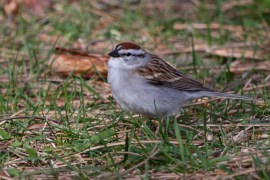 Chipping Sparrow - Cobbs Hill - © Jeanne Verhulst - Apr 29, 2016
