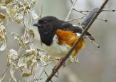Eastern Towhee - Oatka Creek Park - © Jim Adams - Apr 29, 2016