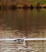 Red-throated Loon - Canandaigua Lake - © Katy Schwingle - May 01, 2016