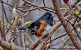 Eastern Towhee - Webster - © Peggy Mabb - May 01, 2016