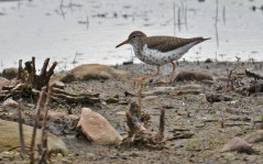 Spotted Sandpiper - High Acres Nature Area - © Dick Horsey - May 03, 2016