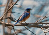 Eastern Bluebird - High Acres Nature Area - © Drew Yampanis - May 05, 2016