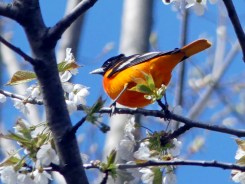 Baltimore Oriole - Thousand Acre Swamp - © Richard Ashworth - May 05, 2016