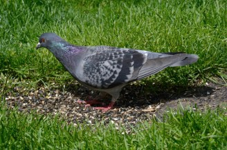Rock Dove - Rochester - © Vern Lindberg - May 07, 2016