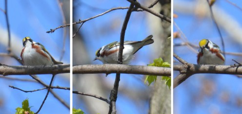 Chestnut-sided Warbler - Cobbs Hill - © Dick Horsey - May 08, 2016