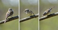 Least Flycatcher - Cobbs Hill - © Dick Horsey - May 08, 2016