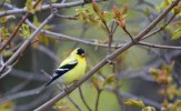 American Goldfinch - Cobbs Hill - © Dick Horsey - May 09, 2016