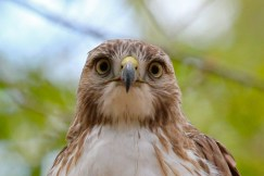 Red-tailed Hawk (Juv) - Cobbs Hill - © Jeanne Verhulst - May 09, 2016