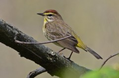 Palm Warbler - High Acres Nature Area - © Dick Horsey - May 10, 2016