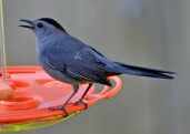 Gray Catbird - Webster - © Peggy Mabb - May 11, 2016