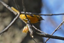 Baltimore Oriole (F) - Cobbs Hill - © Dick Horsey - May 12, 2016