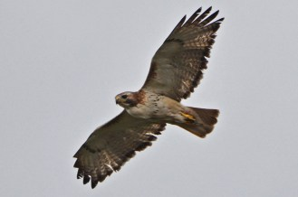 Red-tailed Hawk - Lakeview Church Trail - © Dick Horsey - May 13, 2016