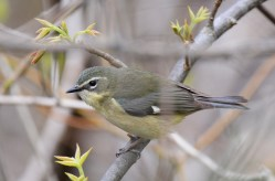 Black-throated Blue Warbler (F) - Firehouse Woods - © Dick Horsey - May 13, 2016